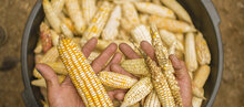 Maize damaged by the prolonged drought in Guatemala